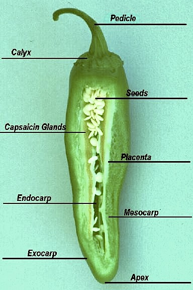 Chile Anatomy Picture