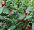 Red Cherry Chile Pepper Seeds