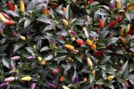 Twilight Chile Pepper Seeds